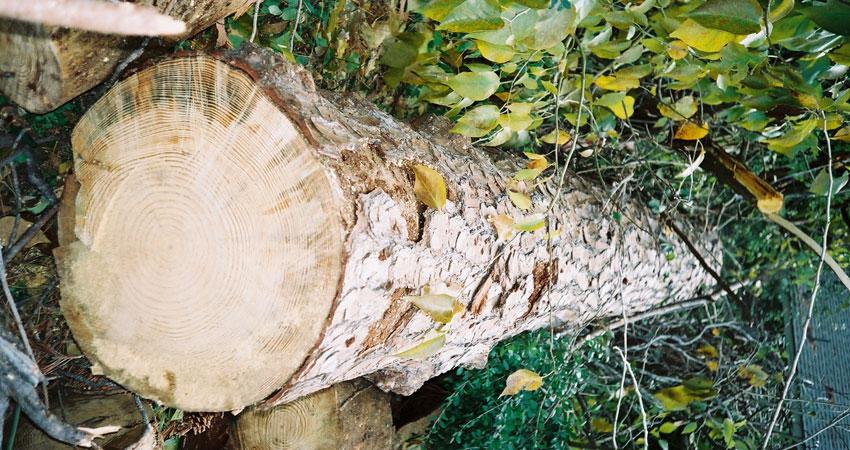tree-trim-1