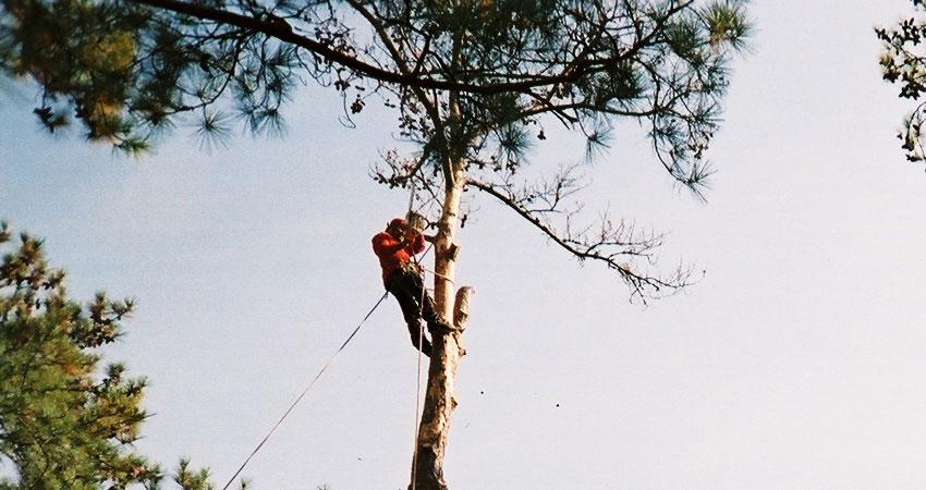 tree-trim-2